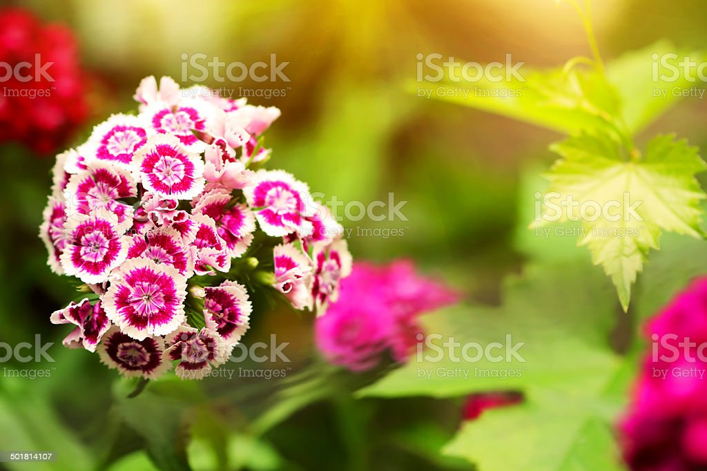 Small Purple And White Flowers Close Up Stock Photo More Pictures