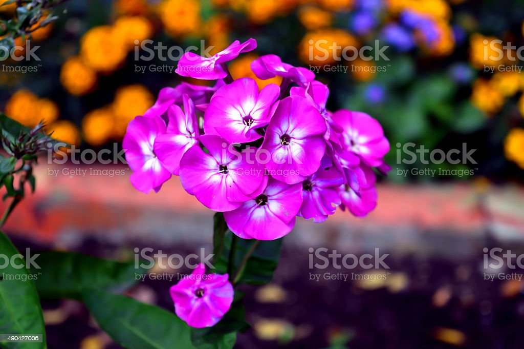 Small Purple And White Flowers Stock Photo More Pictures Of 2015