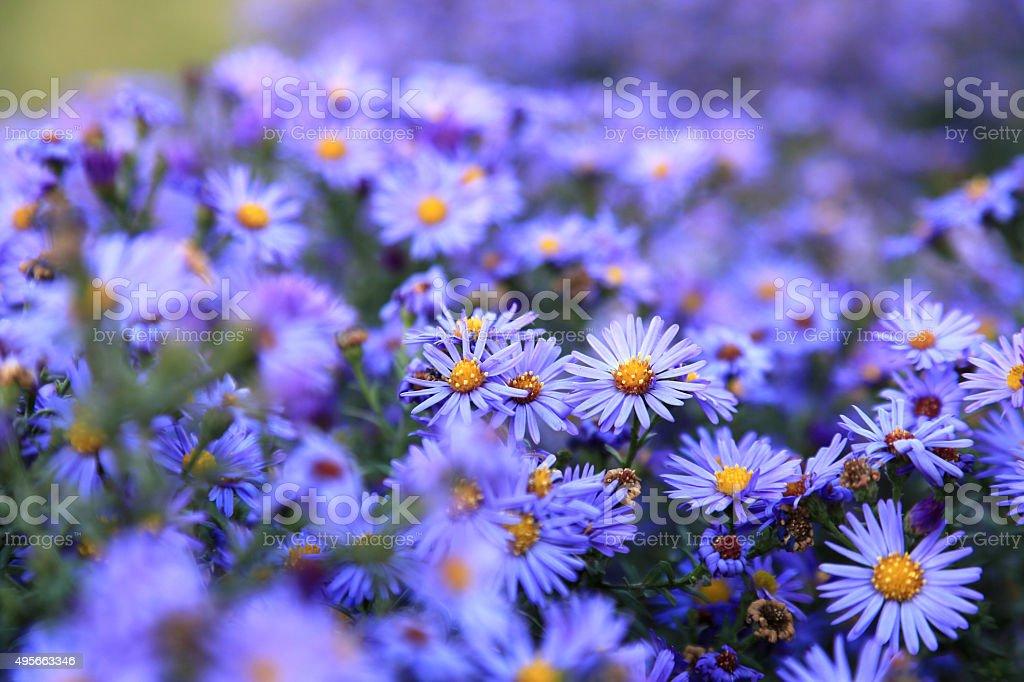 Kleine Lila Wildblumen Hintergrund asters – Foto