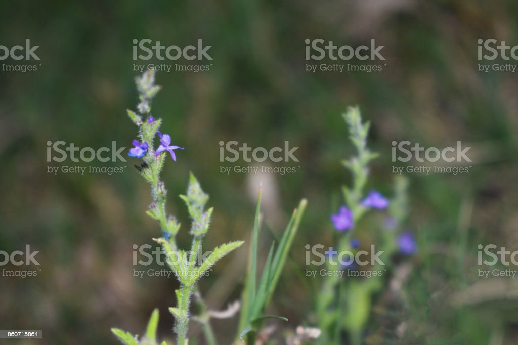 Small Purple Flower Blooms stock photo