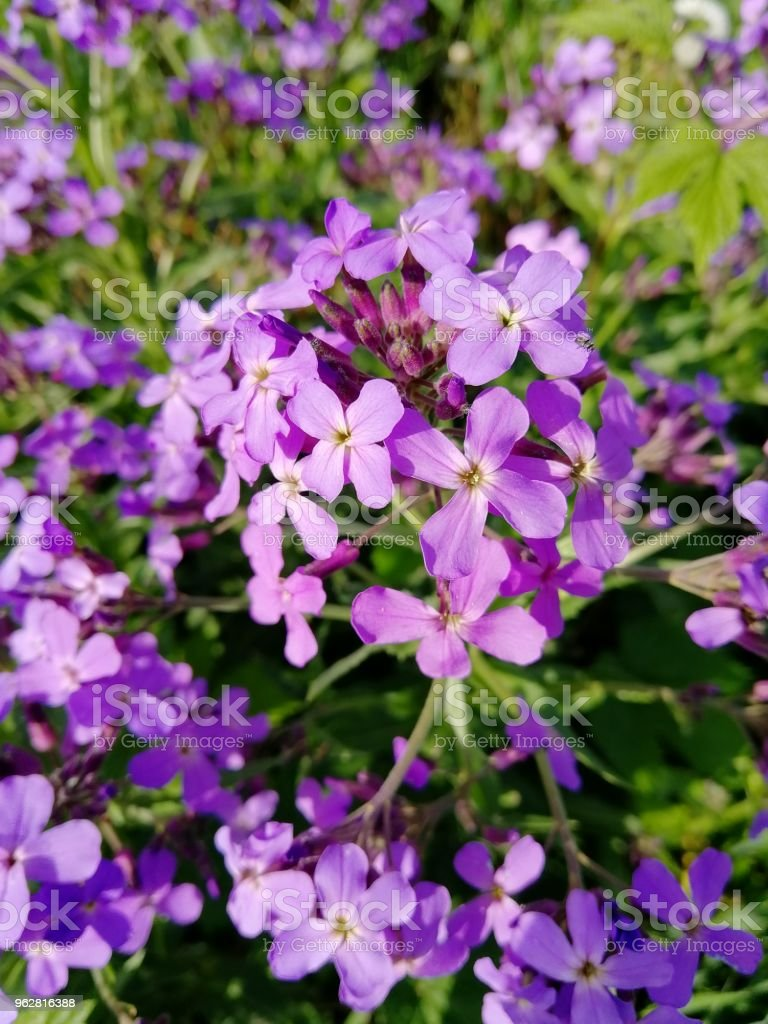 Small Purple Flowers Spring Summer Grows Stock Photo More Pictures