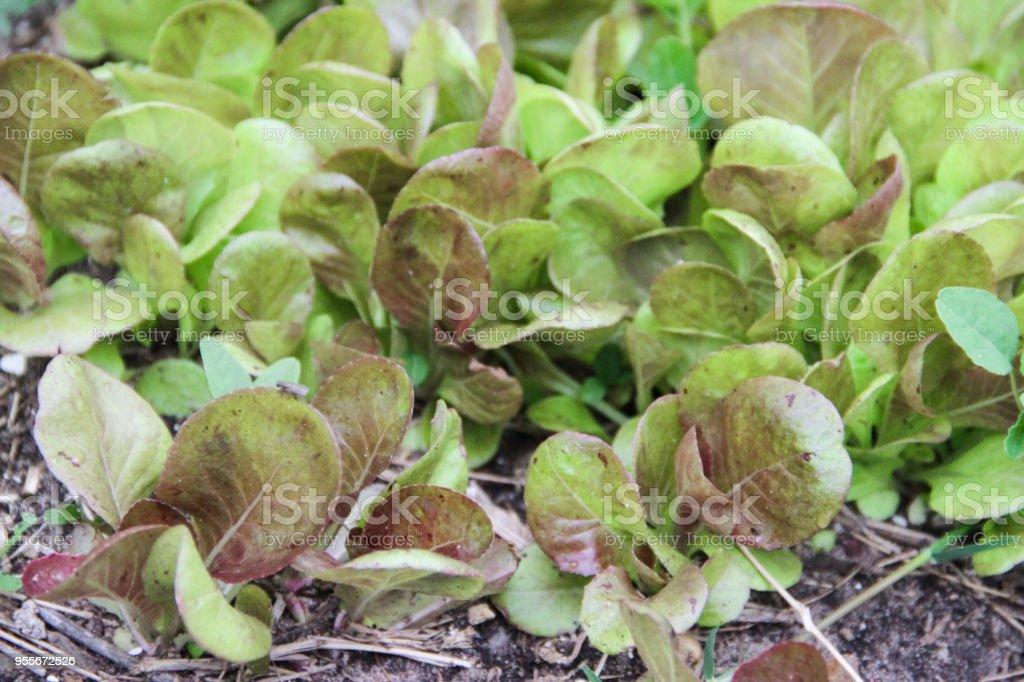 small purple lettuce plants in the organic garden stock photo