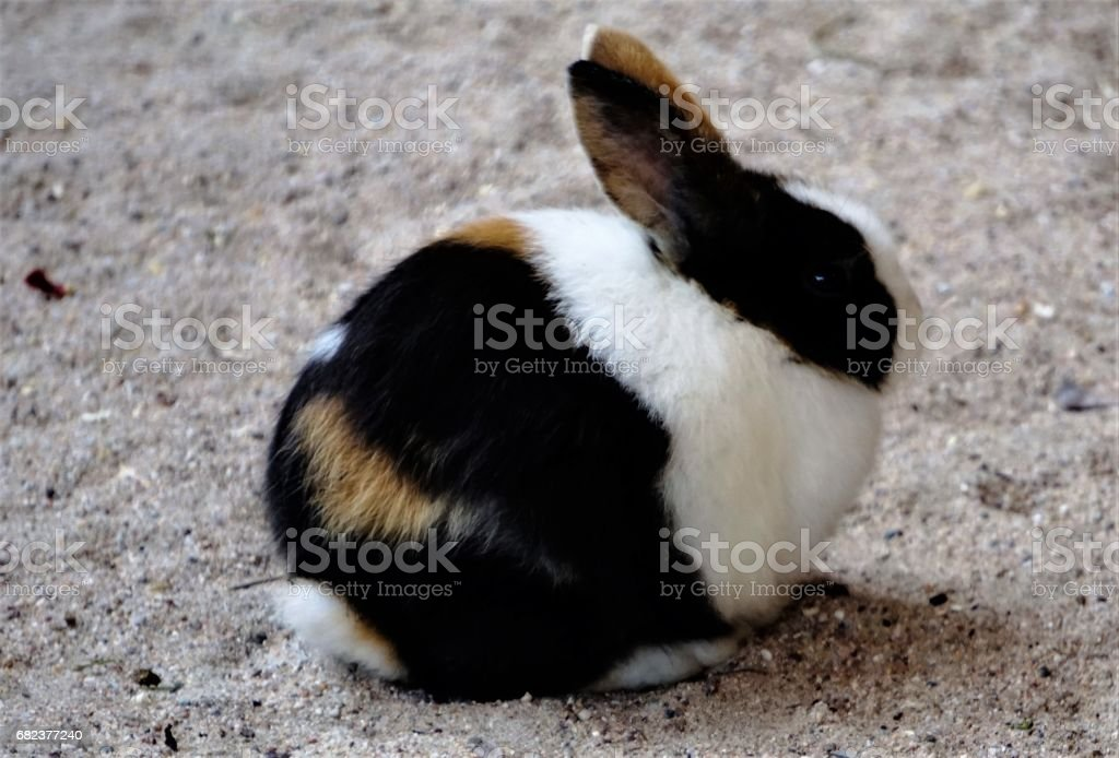 Small pygmy rabbit sitting in the sand royalty-free stock photo