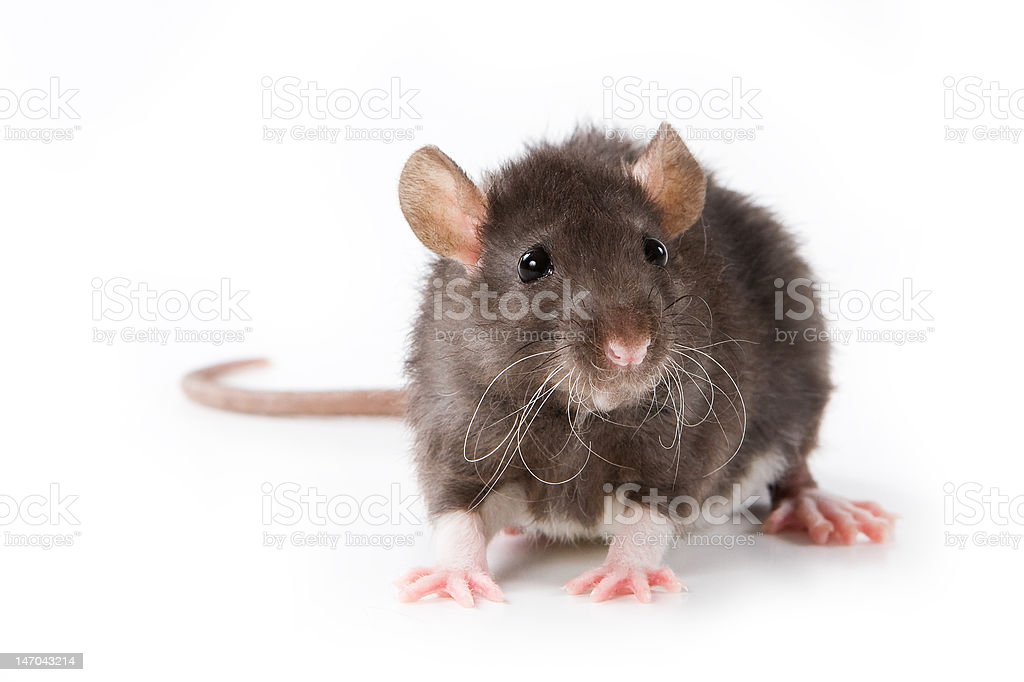 Small rat on white background royalty-free stock photo