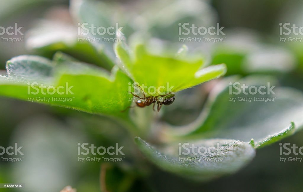 small red and black ant underside leaf macro royalty-free stock photo