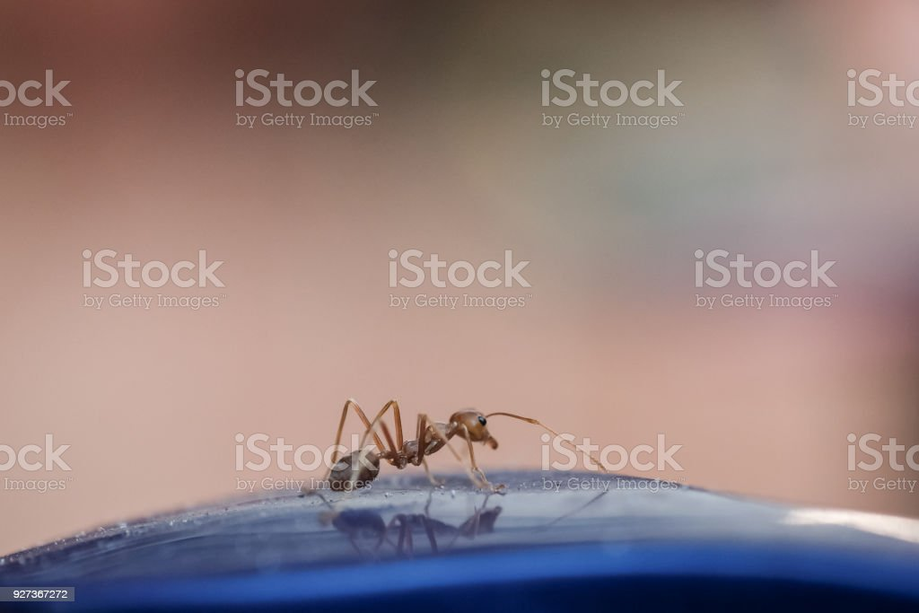 Small red ant stock photo
