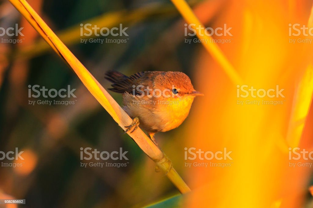 small red bird is warming up in the morning sun in thickets stock photo