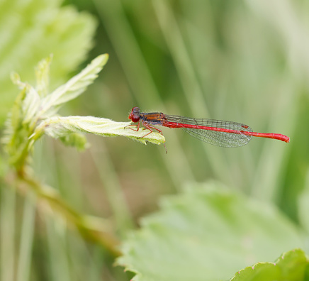 """Identification:\nTot 25-35mm, Ab 22-30mm, Hw 15-21mm.\nThis small and weak-flying damselfly is the only Ceriagrion found in north-west Africa and the most of Europe.\nOccurrence:\nWidespread in the Western Mediterranean , extending into north-western Europe, where locally common. \nHabitat:\nSmall streams and seepages (often calcareous), but in the north-west mainly bogs and heathy lakes with peat moss (Sphagnum) and often Mars St. John's wort (Hypericum elodes).\nFlight Season: \nFrom the end of May to early September in the north, peaking in July and August, but from the start of April to October in the south.\n\nThis Picture is made in the Marsh Reserve the """"Weerribben"""" in July of 2021."""