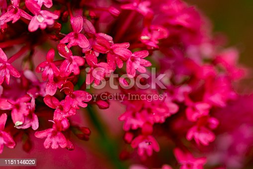 Small red flowers with raindrops in an English country garden.