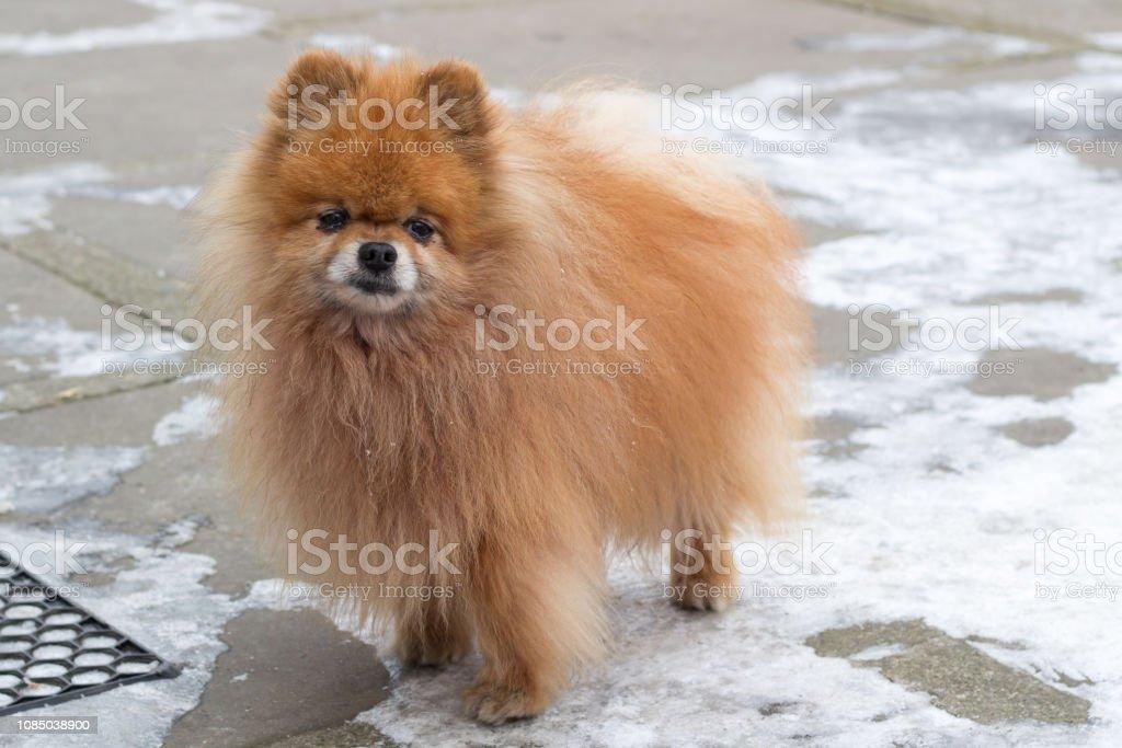 Pelzige Kleine Rote Hund Spitz Auf Winter Hof Hautnah Stockfoto Und Mehr Bilder Von Agility