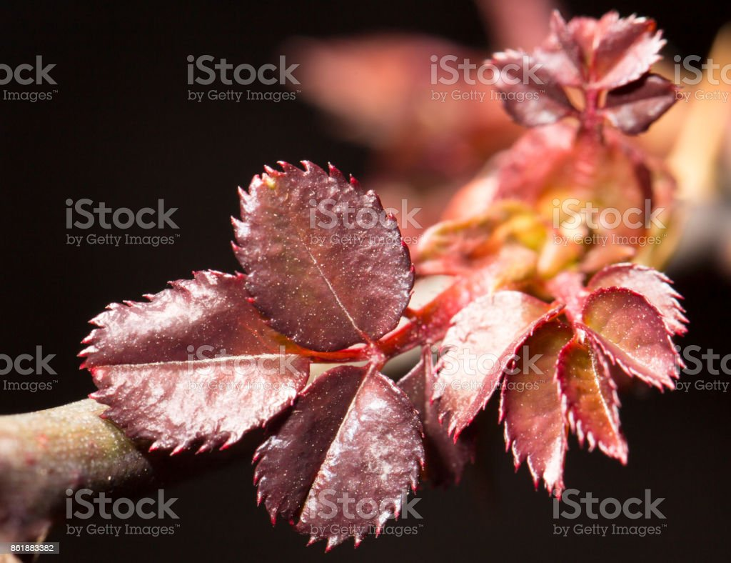 small red leaves on a branch in spring. close-up stock photo