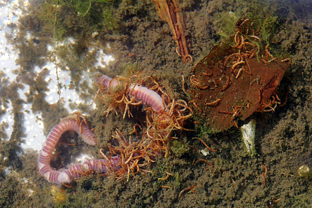 Small red nematodes eat on earthworm Small red nematodes eat on earthworm. Small red worms in the water nematode worm stock pictures, royalty-free photos & images