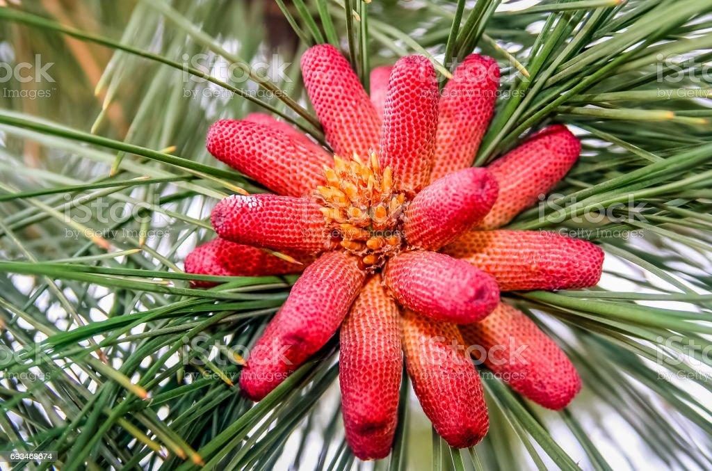 Small red Pinus stock photo