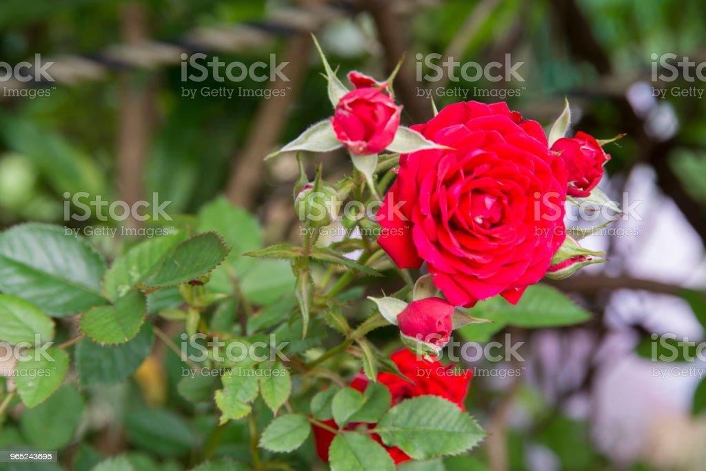 Small Red Rose zbiór zdjęć royalty-free