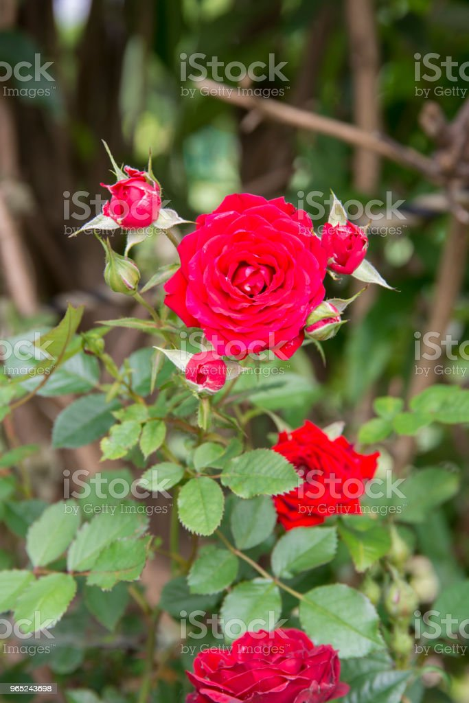 Small Red Rose royalty-free stock photo