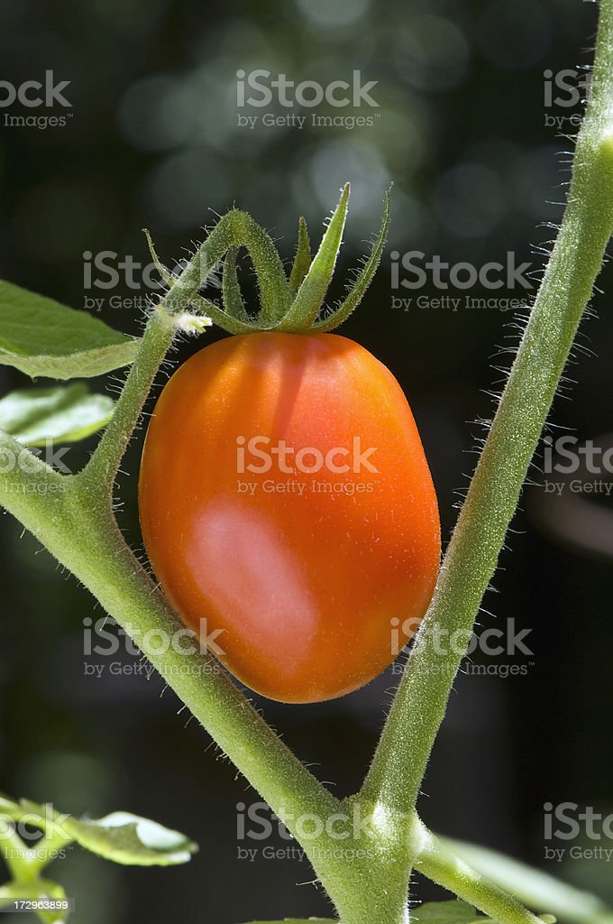 Small Red Tomato on Vine stock photo