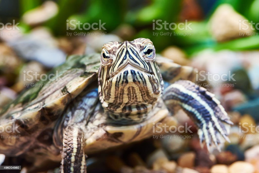 Small red-ear turtle royalty-free stock photo