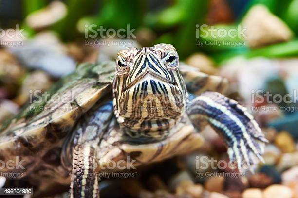 Small Redear Turtle Stock Photo - Download Image Now