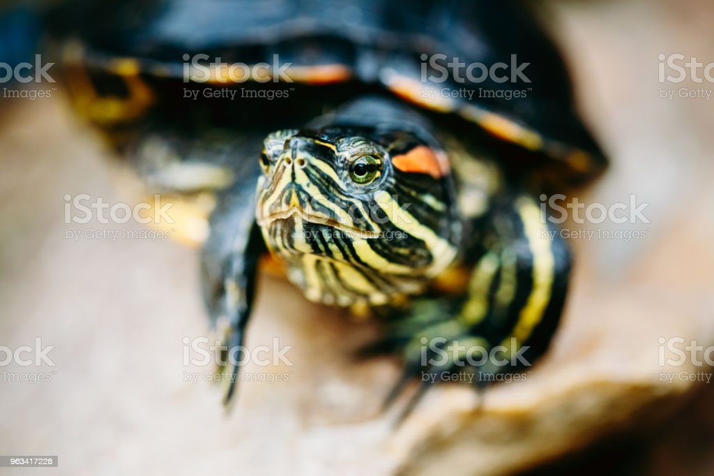 Mały żółw czerwonochuszkowy, Staw Terrapin - Zbiór zdjęć royalty-free (Białoruś)