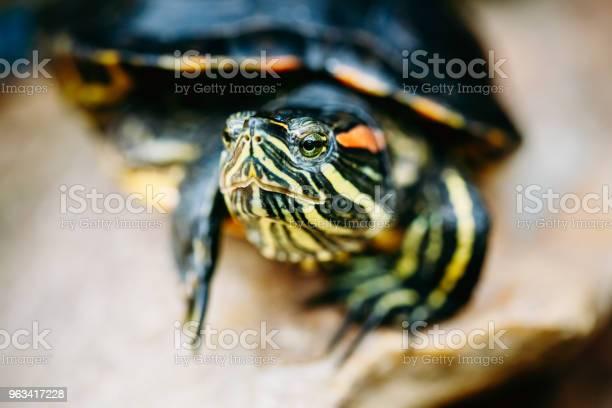 Mały Żółw Czerwonochuszkowy Staw Terrapin - zdjęcia stockowe i więcej obrazów Białoruś