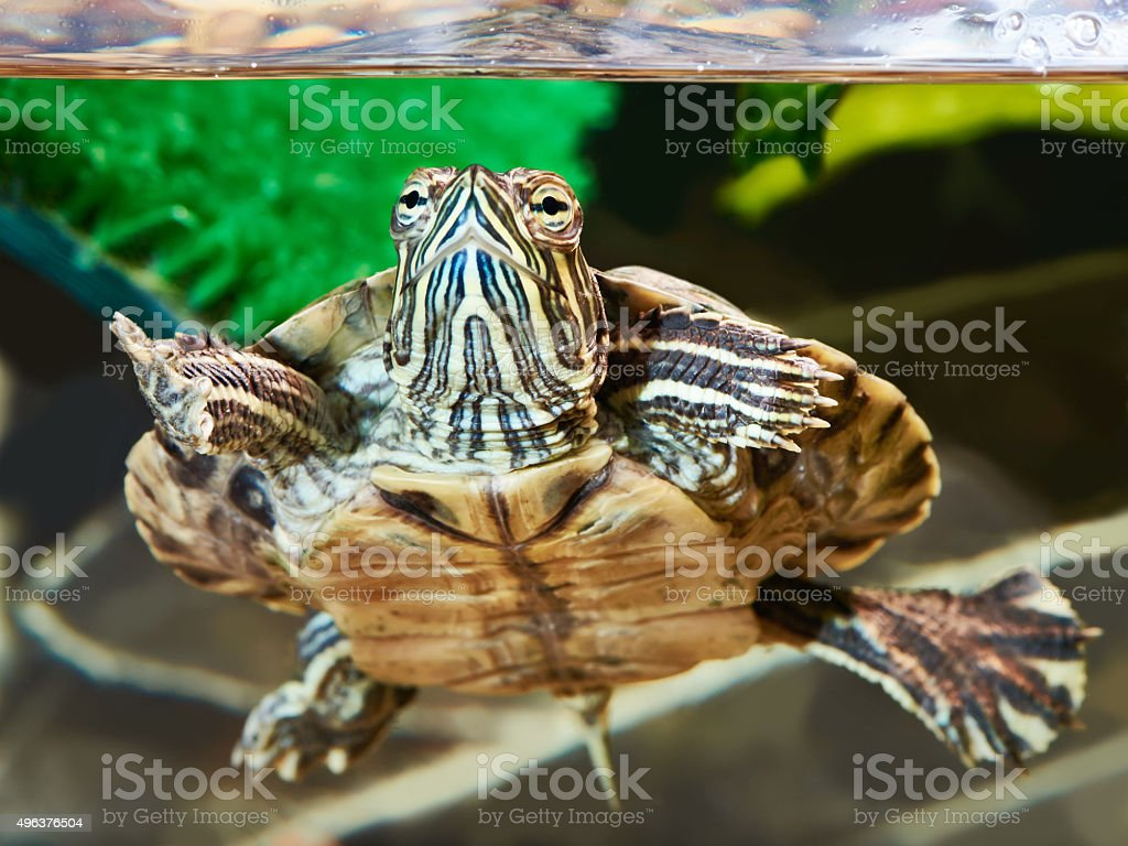 Small red-eared turtle stock photo