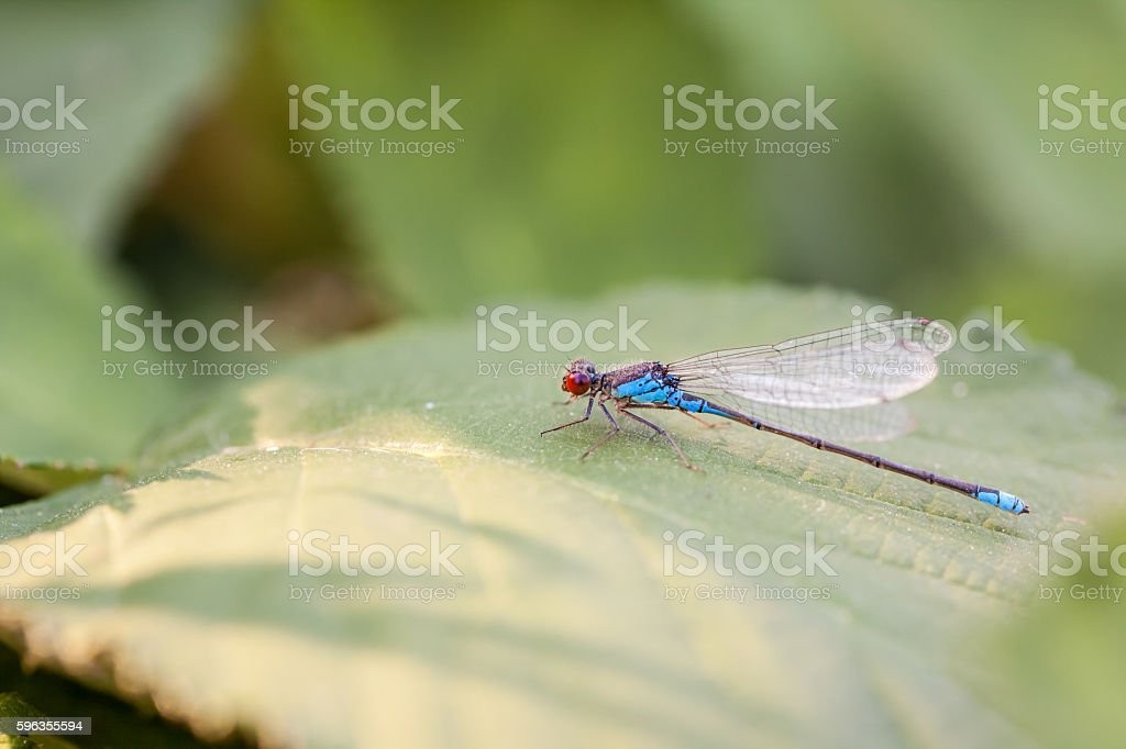 Small red-eyed damselfly royalty-free stock photo
