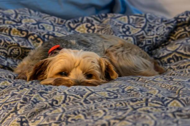 kleinen rettung yorkshire-terrier-mix nur schlafen wollen - hunde aus dem tierheim stock-fotos und bilder