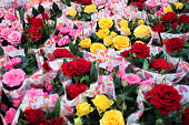 Small roses in pots: red, pink and yellow are sold in a package of hearts as a gift. Concept birthday, Valentine's day, mother's and international women's day.  Festive background