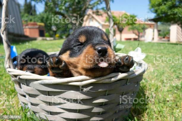 Small rottweiler puppies in the basket picture id1021361930?b=1&k=6&m=1021361930&s=612x612&h=te fstlu5bqptvl5x6xsk93yoj7tsnjfkxqlpgsttvk=