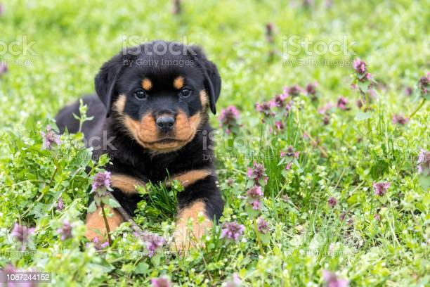 Small rottweiler puppy lying outdoors picture id1087244152?b=1&k=6&m=1087244152&s=612x612&h=n xxwzuishov 7agdxh6tv9xq k nx ub8lhl9cw8j8=