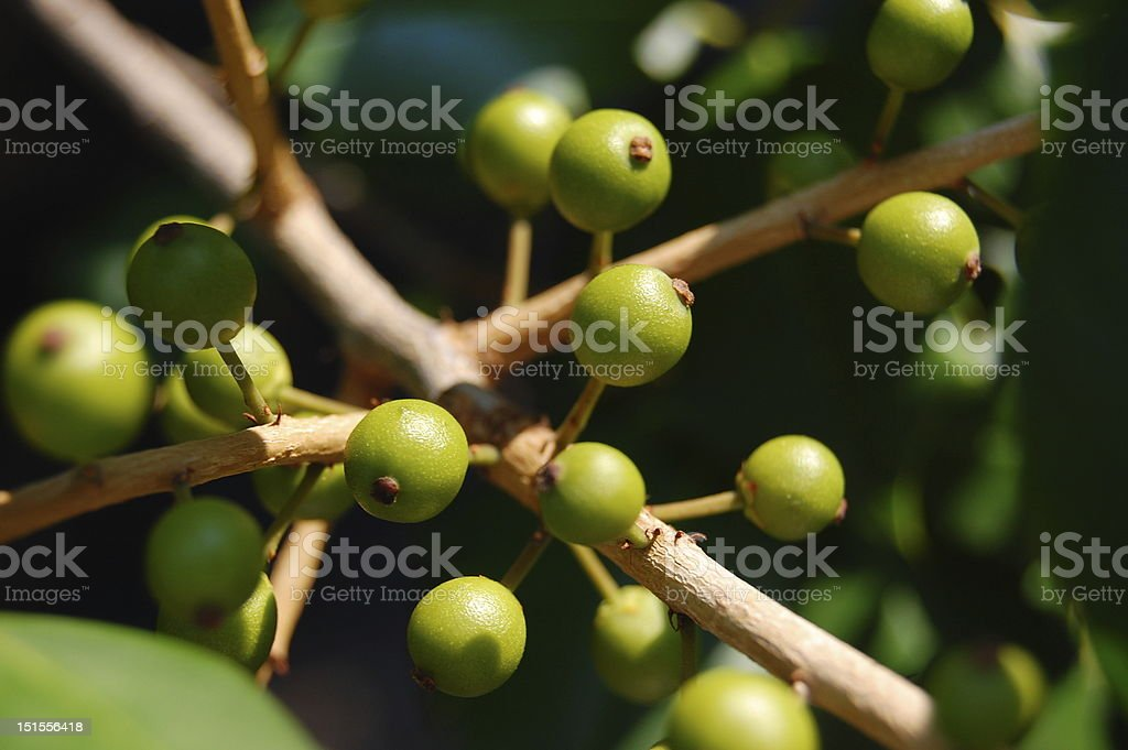 Small round green seeds on a tree branch  royalty-free stock photo