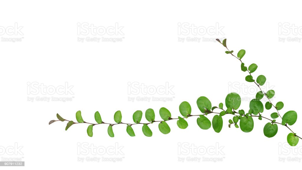 Small round leaves of ground cover creeping plant, Roundleaf bindweed (Evolvulus nummularius) isolated on white background, clipping path included. stock photo