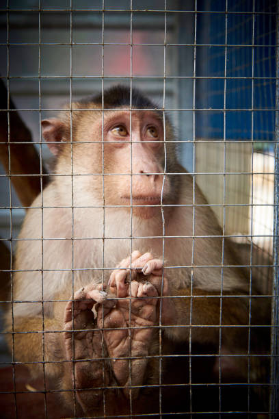 A small sad monkey in a cage. A small sad monkey in a cage. poaching animal welfare stock pictures, royalty-free photos & images