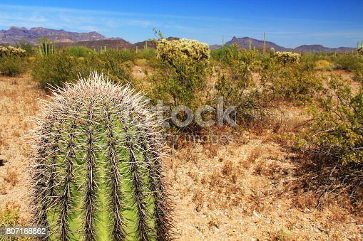 Close-up view of a small Saguaro cactus and blue sky copy space in Organ Pipe Cactus National Monument in Ajo, Arizona, USA including a large assortment of desert plants, which is a short drive west of Tucson.