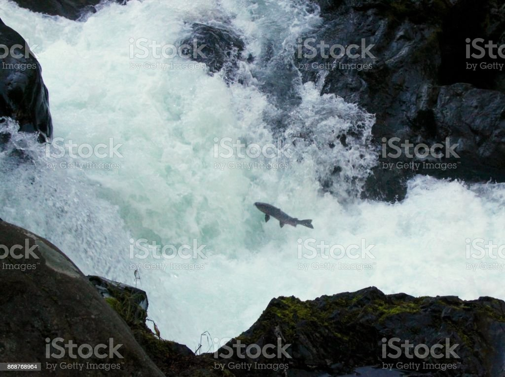 Small Salmon Attempting To Jump Up A Waterfall stock photo