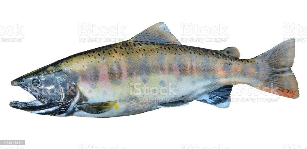 Small salmon stock photo