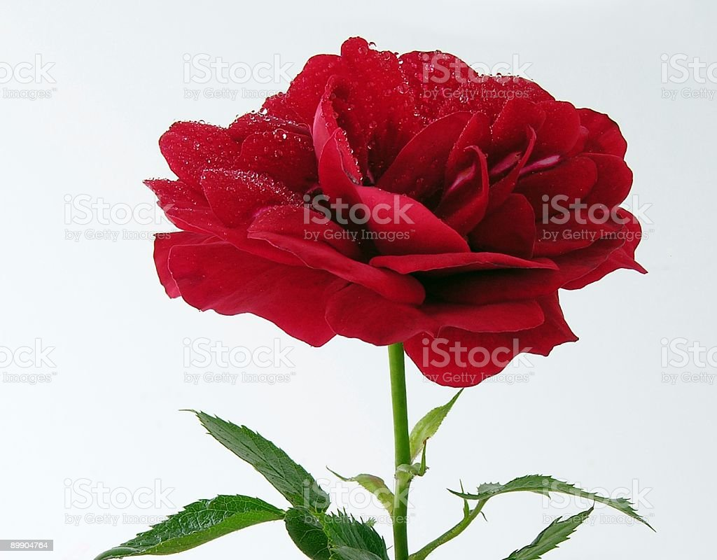small scarlet rose royalty-free stock photo