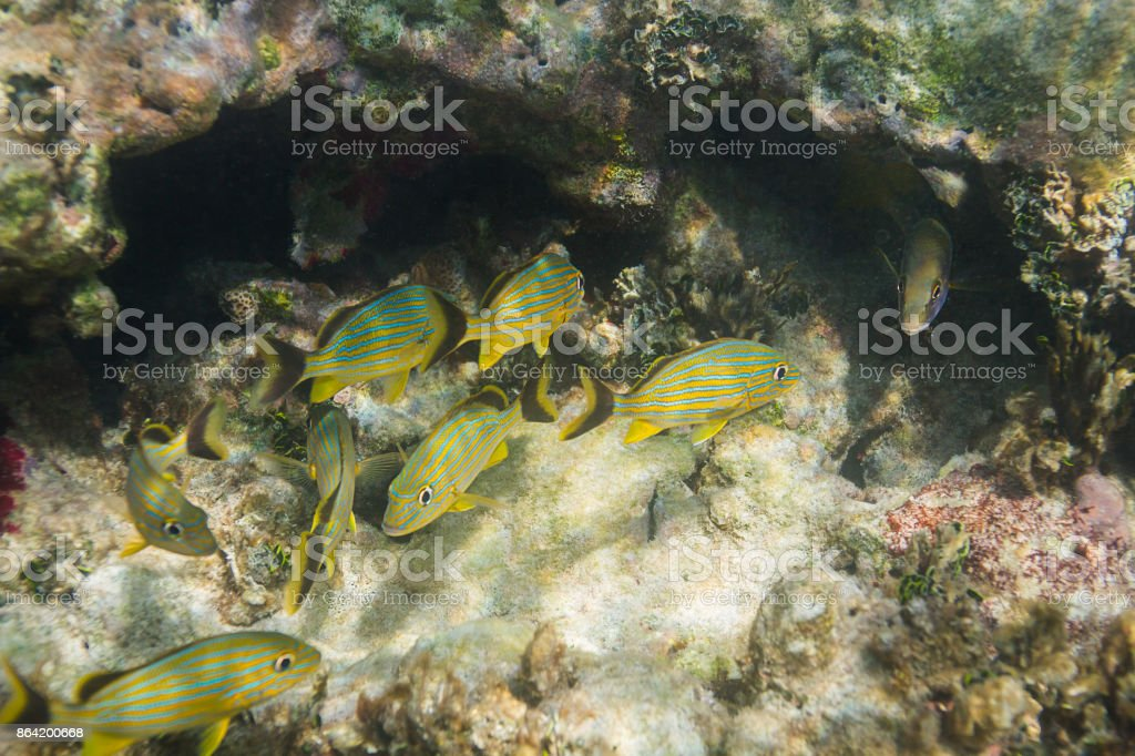 Small school of french grunt royalty-free stock photo