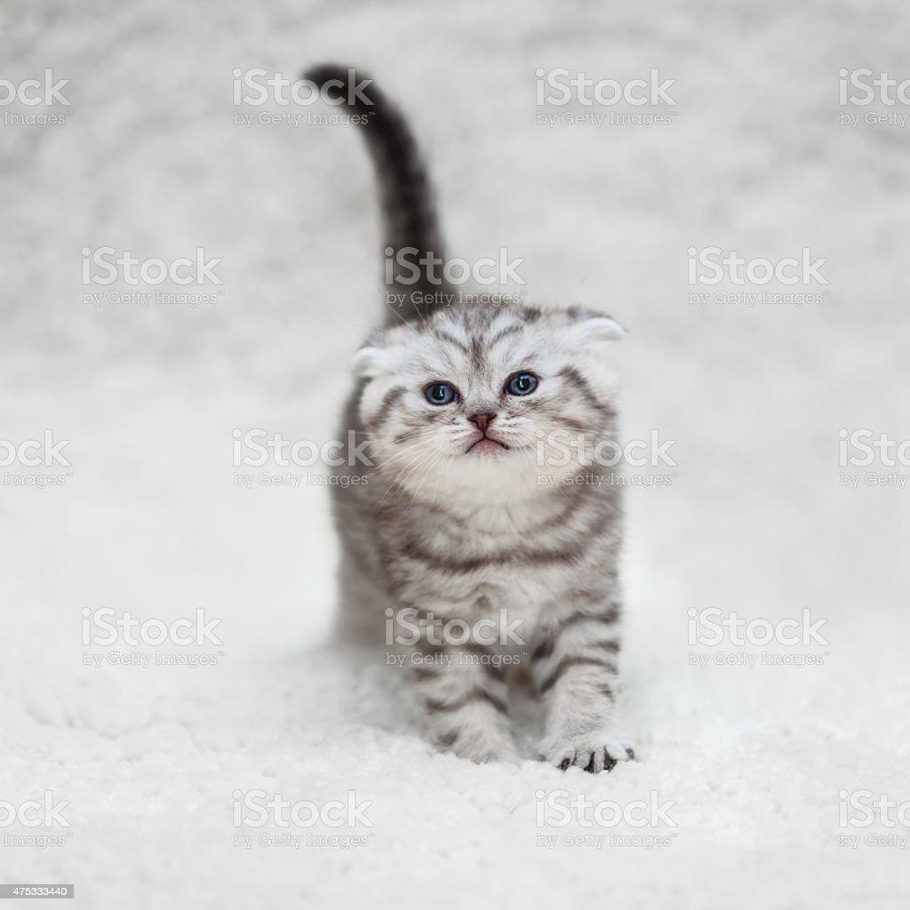 Small scottish fold kitten on white blur background stock photo