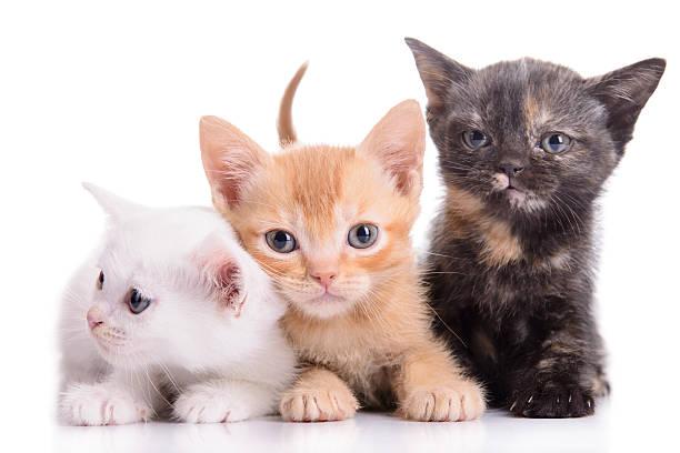 Small scottish kittens picture id505249855?b=1&k=6&m=505249855&s=612x612&w=0&h=kfctvg97z o1je92tv7mhjjutekuw9dun6ivki55bay=