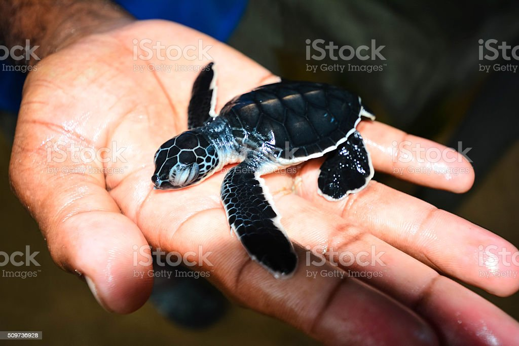 Small Sea Turtle On Hand In Kosgoda, Sri Lanka stock photo