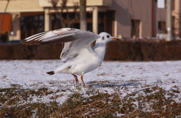 Small seagull with opened wings on the ground stock photo