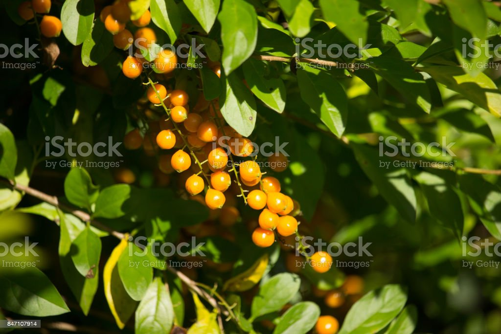 Small seed of  Duranta repens Flower  on tree stock photo