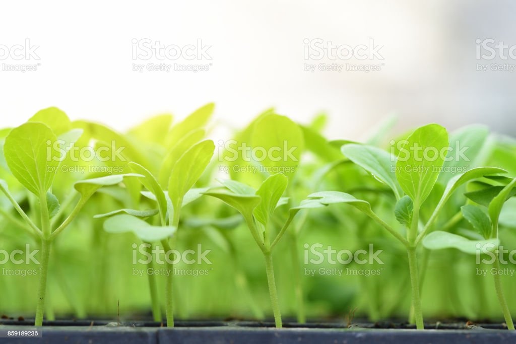 Small seedlings of lettuce in cultivation tray stock photo