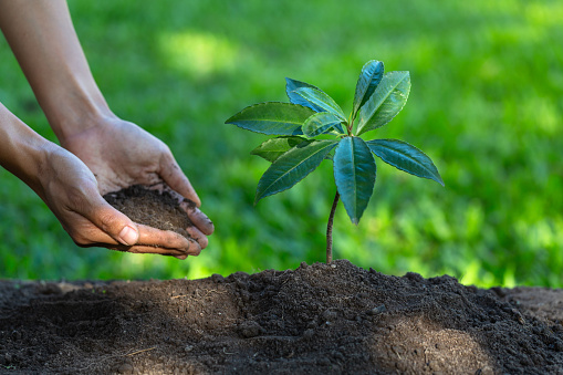 915680272 istock photo Small seedlings that sprout from complete soil. With human hands pouring seedlings.The concept of care for seedlings and soil. Saving the world by planting trees. 1199451258