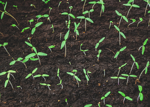 615599804 istock photo Small seedlings.Group of green sprouts growing out from soil. 1194011890