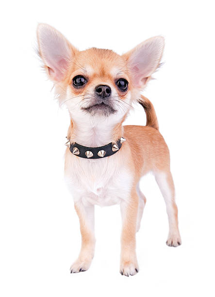 small self-confident Chihuahua puppy portrait small self-confident Chihuahua puppy portrait with black leather studded collar standing on white background short haired chihuahua stock pictures, royalty-free photos & images