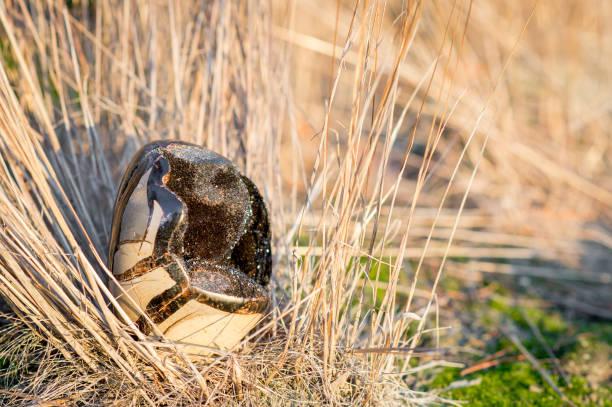 Septarian Steinchen auch genannt dragonegg – Foto
