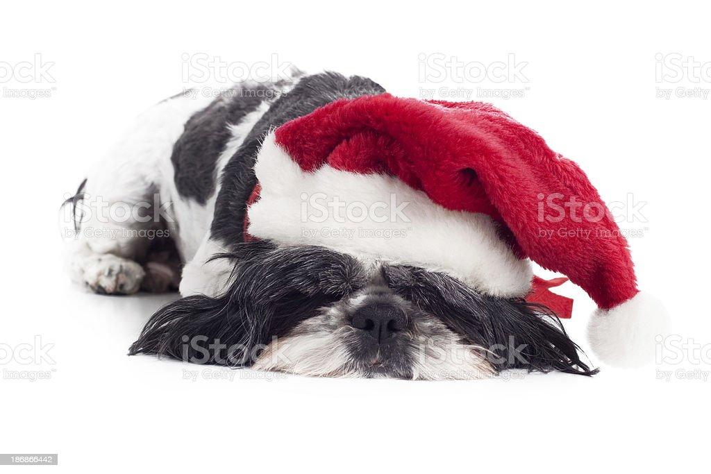 Small Shitzu Dog Wearing Christmas Santa Hat on White Background royalty-free stock photo