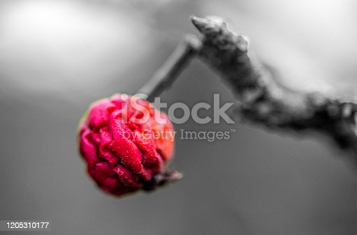 Isolated colour macro image of a small shrivelled apple from previous year.